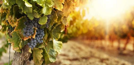 organic Wine China