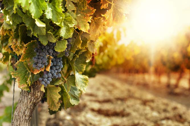 """Organic Wine, a new trend among Wine lovers in China"" Internet of the French Cellar China"
