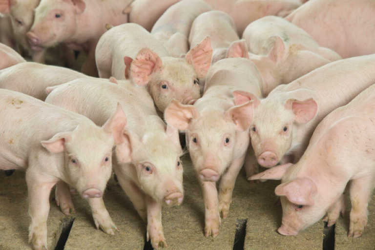 Chinese Importers are searching to buy pork
